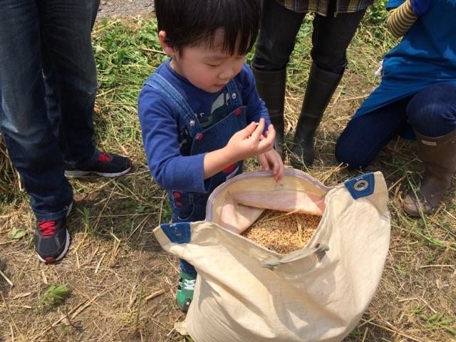 脱穀後の小麦を見つめる子供